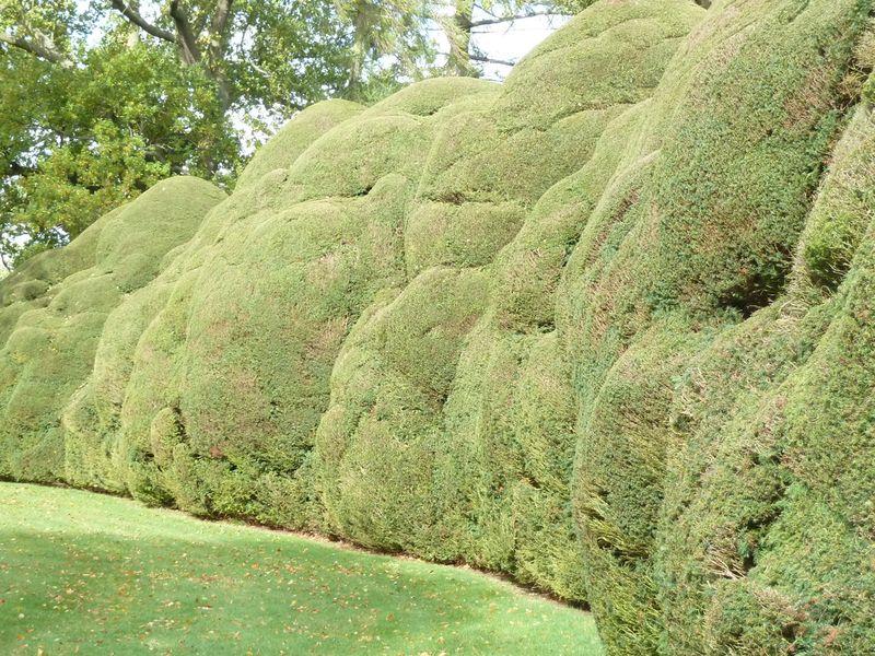 Doddington yews2